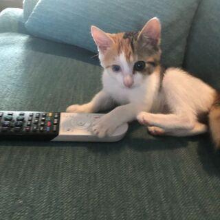 子猫(三毛猫4か月、メス)里親様を募集しております。