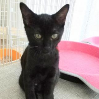 札幌近郊の方優先で!黒猫ちゃん子猫です。