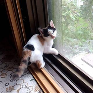 全盲の子猫ちゃんを助けて下さい。凄く可愛い子です。幸せになって欲...