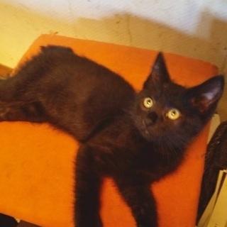 黒猫ファンの皆さまへハニーちゃん♀3ヶ月