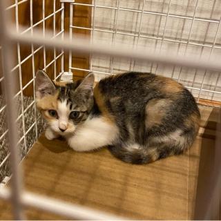 子猫 三毛猫 メス 1〜2ヶ月