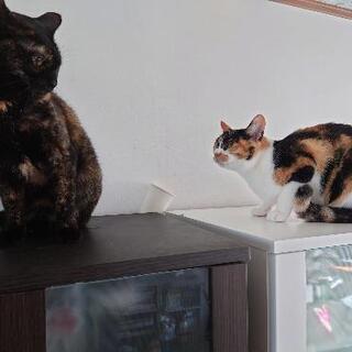 もうすぐ3ヶ月子猫♂ ミケ♀9月末で2歳  黒さび♀3歳半