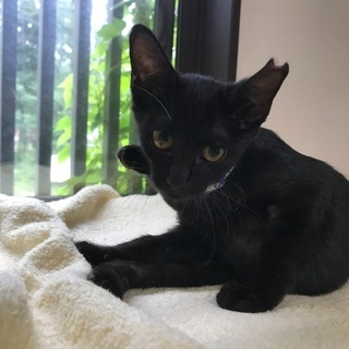 美人黒猫、レーズンちゃんです。
