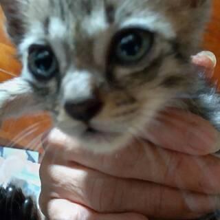 [本日、引き渡し予定です] 子猫 男の子 2か月 キジトラ 誰か...