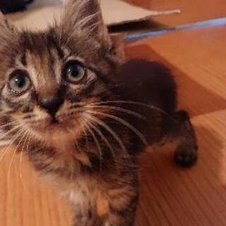 キジトラ仔猫(2ヶ月)男の子