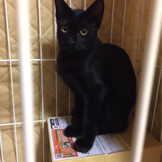 黒猫(オス)生後約5ヶ月