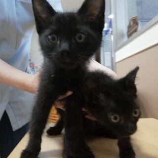 小さな黒猫兄弟 生後2か月