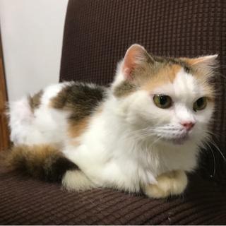 ペルシャ猫ミックス 三毛猫のめいちゃん