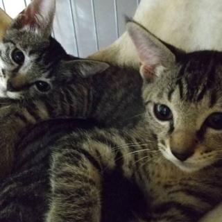 見るたび可愛くて笑顔🥰姉妹猫4ヶ月 - 里親募集