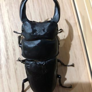 国産オオクワガタ(大型?)幼虫10頭セット