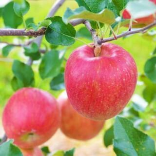 りんご作業員