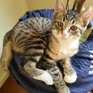 北浦左岸で保護しました。こんなにも可愛く成長したサバ虎の♀仔猫です。
