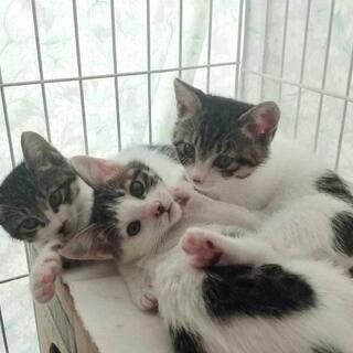 3姉妹のキジシロ仔猫