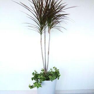 お値下げ中!観葉植物・コンシンネ・アイビー・運気上昇!陶器…