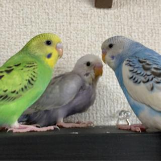 3羽のセキセイインコ