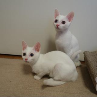 白猫兄弟のシローくんとシロ子ちゃん