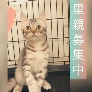 ●マンチカン●保護猫 どの子も幸せになれますように子猫 ●本文を...