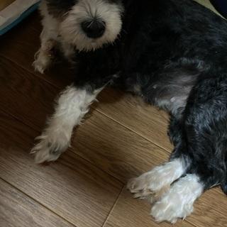 シーズー&マルチーズのmix犬 10歳 女の子