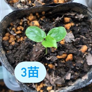 【3苗】パッションフルーツ トケイソウ 実生 苗