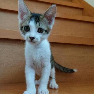 可愛いキジ白兄弟 - 猫