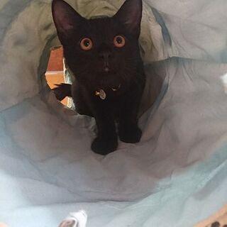 甘えん坊の黒「ケント」里親様募集中 - 猫