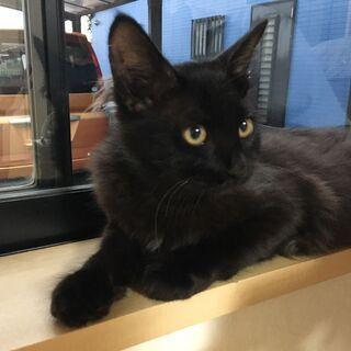 生後5~6か月の黒猫(オス)の里親さん募集です ※少し脚が悪いです
