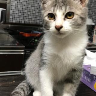 綺麗なグレー模様のサクラちゃん - 猫