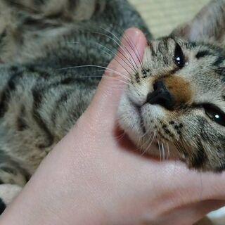 キジ猫さん💕子猫 保護猫 お問い合わせが無く😰困っておりま…