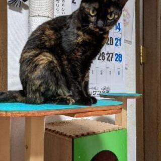 里親募集 成猫1才2ヶ月 メス