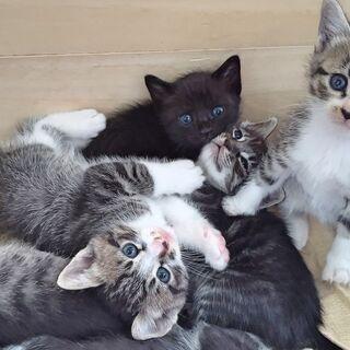 【生後1か月半】子猫6匹(母猫去勢済)