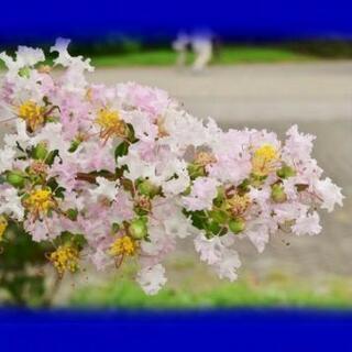 サルスベリ  白  または薄いピンク