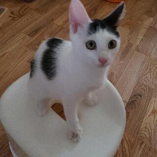 美猫です、シャムのお母さんから生まれました、ツンデレ女の子前髪可愛い