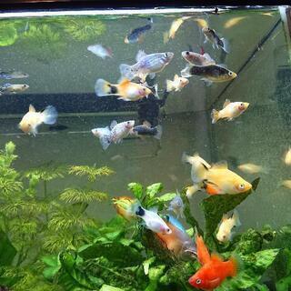 [取引成立] 熱帯魚 プラティ、ミッキーマウスプラティ 5匹  ...