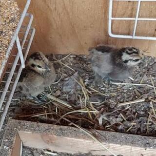 素敵な里親様が決まりました烏骨鶏 若いオス一羽と雛4羽