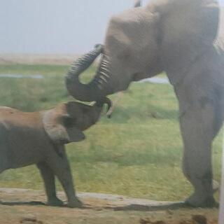 写真集 アフリカンベイビー(動物の子供たち) - 小金井市