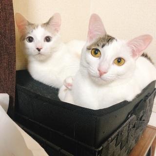 【2、3匹目】首輪がついていた猫を拾ったら、飼い主を探している間...