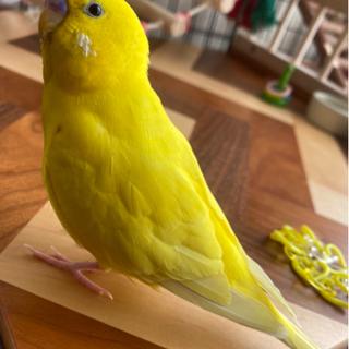 黄色いセキセイインコを捜しています!!