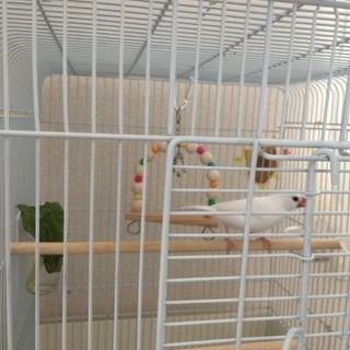 白文鳥、1歳9ヶ月