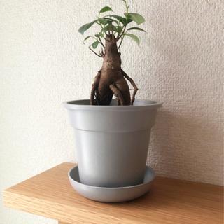 観葉植物 ガジュマル④ 22cm グレーカラーの3.5号の…