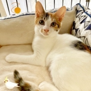 三毛猫の可愛らしさがつまったみくちゃん♀4ヶ月