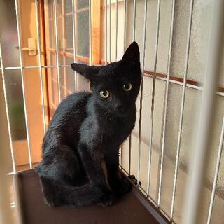 2ヶ月半くらいの黒猫ちゃん 真ん丸お目々が可愛いです💕