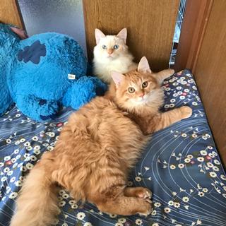 兄弟猫の引き取り急募します。