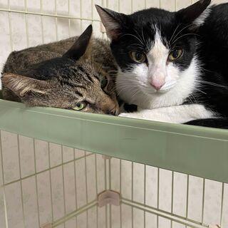 【ハチワレ&キジトラ】保護猫兄妹2匹(男の子と女の子)