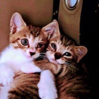 急募:保護猫ちゃん生後7週ぐらいキジシロくんの家族を探しています − 福岡県