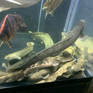 【ネット決済・配送可】ワイルド ビキールコリバ ギニア 熱帯魚 ...