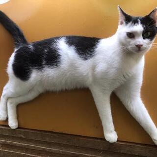 ムーンくん、白黒、推定2歳の若い猫、里親募集
