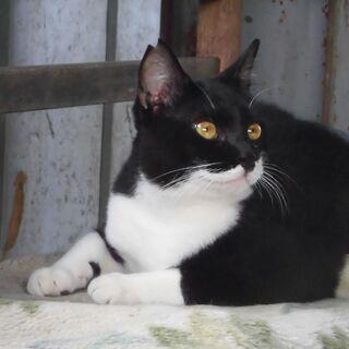 保護猫ですが、人懐こい黒白の男の子です。