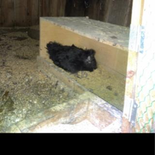 黒烏骨鶏 雌