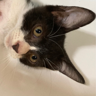里親決定!!白黒オス、生後6〜7週の子猫。