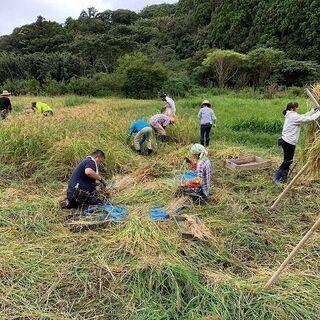 稲刈り~自然農の米作り~の画像